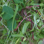 Microgreens Burpee's Mix