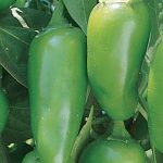 Pepper Hot Jalapeno Early Organic