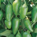 Pepper Hot Jalapeno M