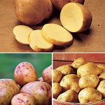 Potato All Season Collection