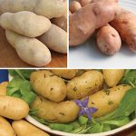 Potato Fingerling Collection