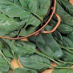 Spinach Baby's Leaf Hybrid
