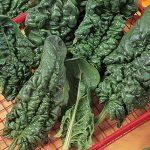 Spinach Harmony Hybrid