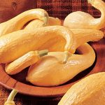 Squash Early Summer Crookneck Organic