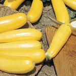 Squash Summer Burpee Golden Zucchini
