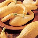 Squash Summer Early Golden Crookneck