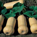 Squash Waltham Butternut Organic
