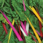 Swiss Chard Neon Lights Blend