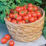 Tomato Baxter's Bush Cherry Organic