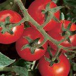 Tomato Chadwick Cherry Organic