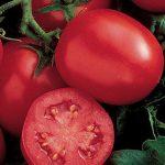 Tomato Ensalada Hybrid