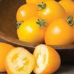 Tomato Golden Mama Hybrid