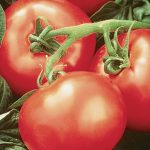 Tomato Heatwave II Hybrid