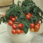 Tomato Patio Princess Hybrid