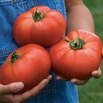 Tomato Porterhouse Hybrid