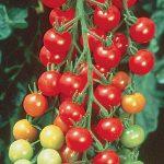 Tomato Super Sweet 100 Hybrid