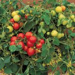 Tomato Tumbler Hybrid