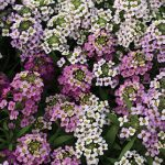 Alyssum Easter Basket Mix