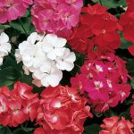 Geranium Border Mix