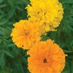 Marigold Sunset Giants Mix