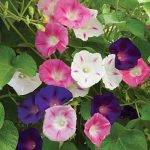 Morning Glory Zeeland Hybrid Mix