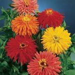 Zinnia Cactus Flowered Mix
