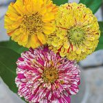 Zinnia Candy Cane Mix