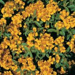 Sweet Marigold Licorice