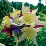 Columbine Mckana's Giant Mixed Colors