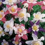 Columbine Songbird Mix