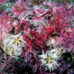 Dianthus Rainbow Loveliness Mix