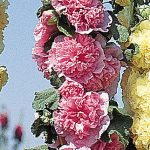 Hollyhock Chaters Pink
