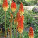 Tritoma Red Hot Poker Mix