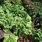 Lettuce All Season Butterhead Mix