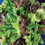 Lettuce Fordhook Favorites Blend