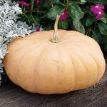 Pumpkin Long Island Cheese