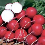 Radish German Giant