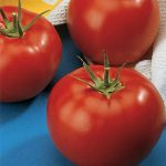 Tomato Burpees Early Pick VF Hybrid