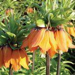 Fritillaria Aurora