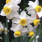 Daffodil Canaliculatis