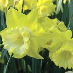 Daffodil Spellbinder