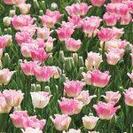 Tulip Izumi