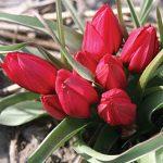 Tulip Lilliput