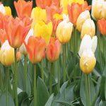 Tulip Fosteriana Mix