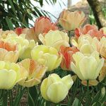 Tulip Silverstream