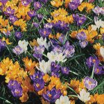 Crocus Giant Mix
