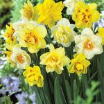 Daffodil Double Mix