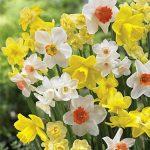 Daffodils 100 Days