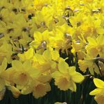Daffodils Yellow Trumpet