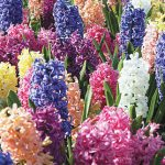 Hyacinth Mix